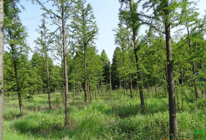 中(zhong)山杉